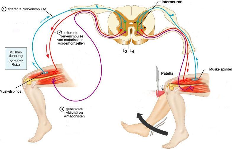Physiologie: motorische Funktionen des Rückenmarks | BesserGesund ...