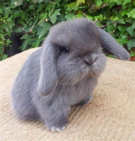 Mini Lop Rabbit Breeds Pet Rabbit Mini Lop