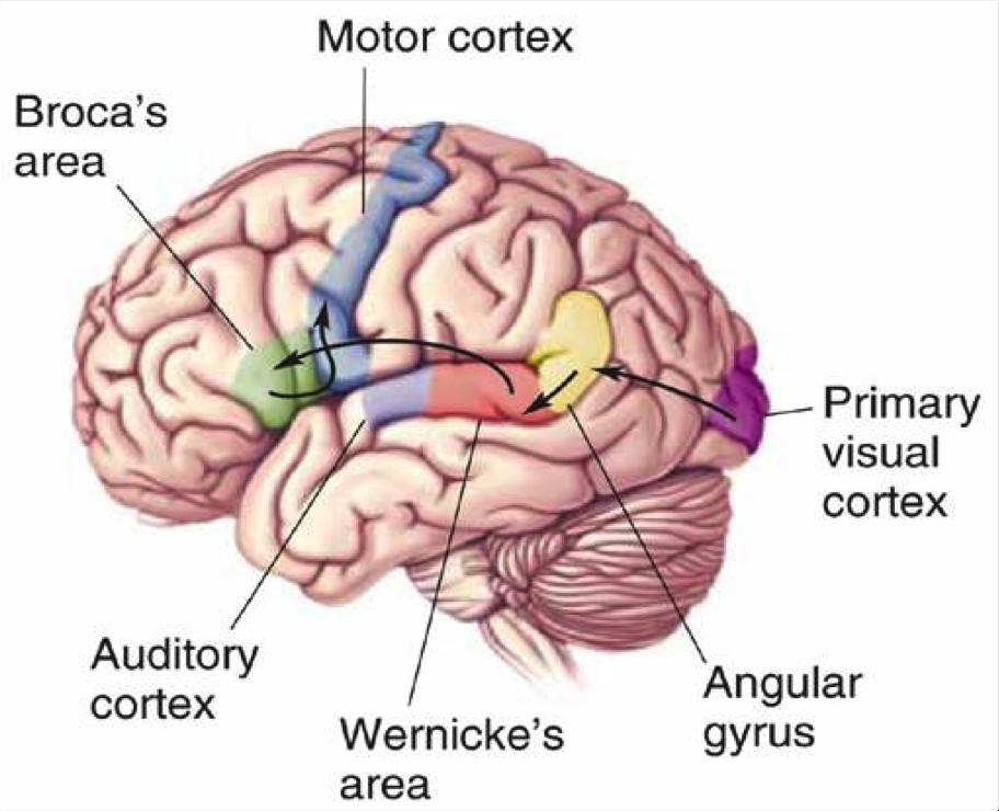 brain broca\'s wernicke\'s areas - Google Search | NOSOTROS EN ...