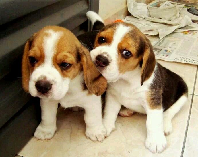 My Beagle Boy Dakota Was This Little Once Beagles Rock Beagle