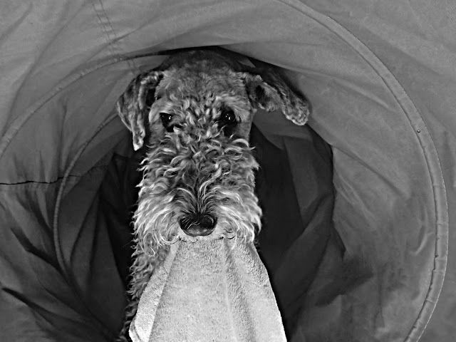 Ruby The Airedale Black And White Fox Terrier Terrier