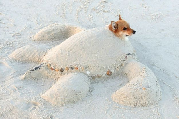 More recently, corgis have been exploring other artistic endeavors like sand castle building. | 71 Reasons We Need To SAVE CORGIS FROM EXTINCTION