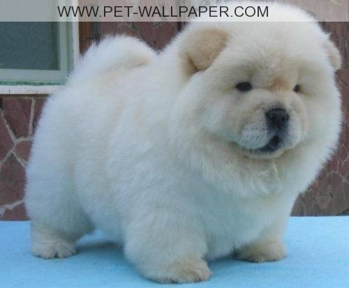 White Chow Chows Puppies White Chow Chow Fluffy Animals Really