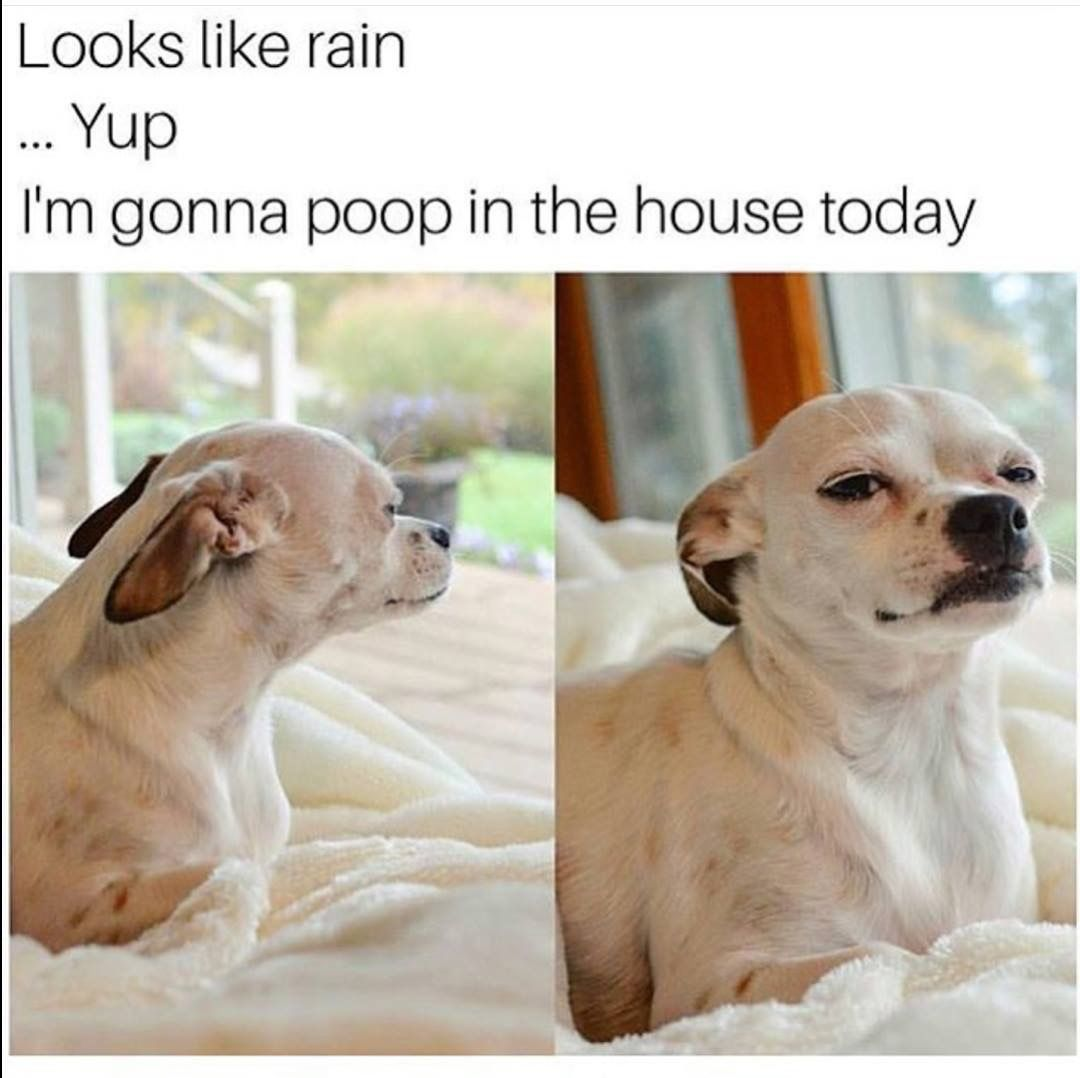 Yup Pooping Indoors Funny Dog Memes Dog Memes Funny Animal Memes