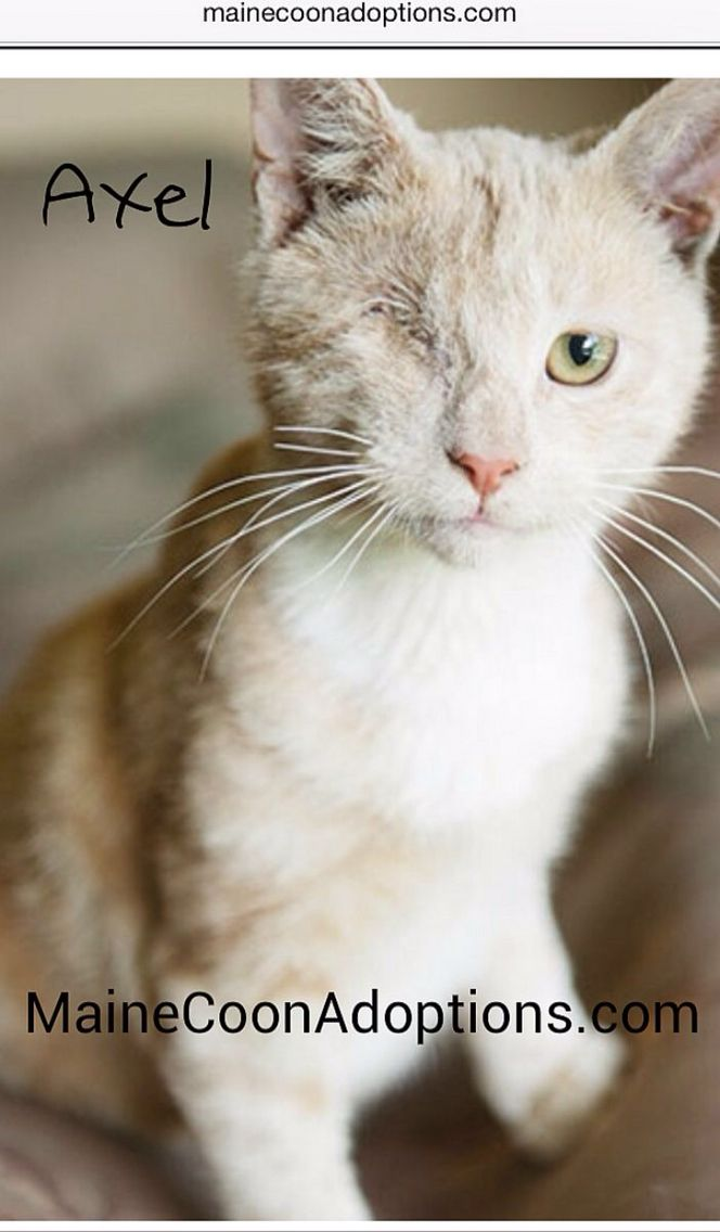 Axel Has Been Adopted Axel Is A Spunky And Adventurous 6 Month Old Kitten Missing An Eye Doesn T Slow Him Down A Bit C Cats And Kittens Cats Dog Adoption