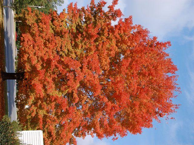 Sugar Maple Acer Barbatum H30 60ft W 25 30ft Full Sun To