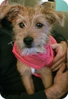 St Louis Mo Wirehaired Fox Terrier Mix Meet Minnie A Dog For