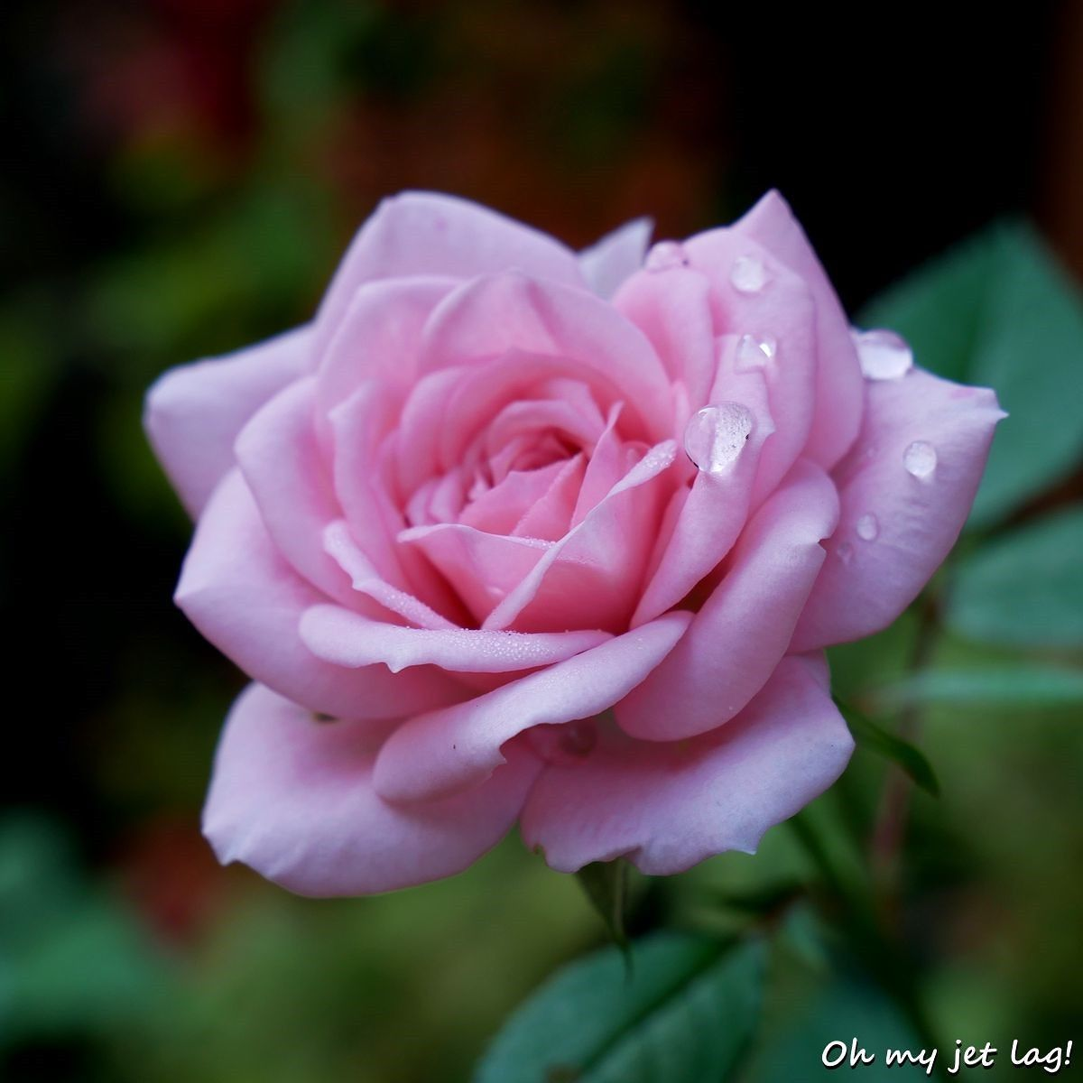 Juste a rose in a beautiful morning rose flower flowers nature juste a rose in a beautiful morning rose flower flowers nature wild fleur fleurs pink color japan rose beautiful wow izmirmasajfo