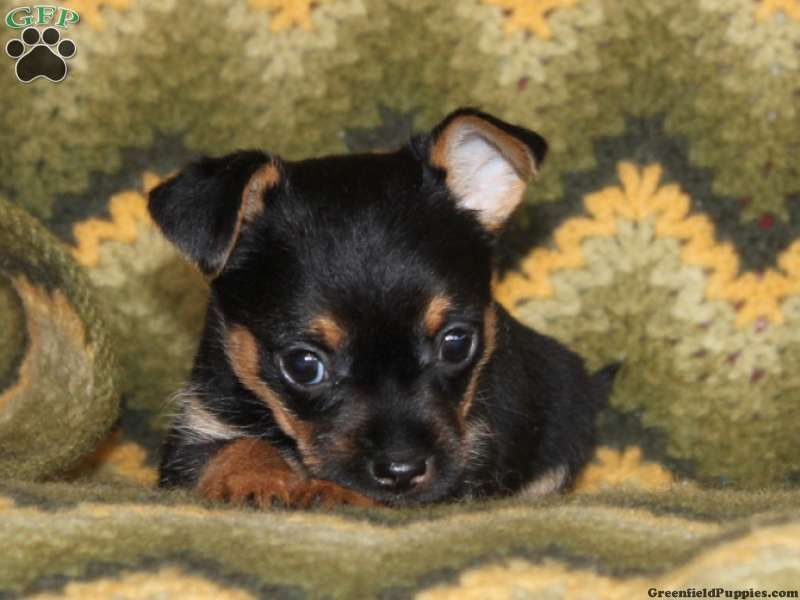 chorkie puppies chorkie puppies for sale in pa my