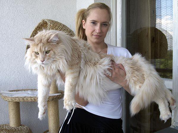 Ogromnye Koty I Ih Simpatichnye Hozyajki 20 Foto メインクーン 猫