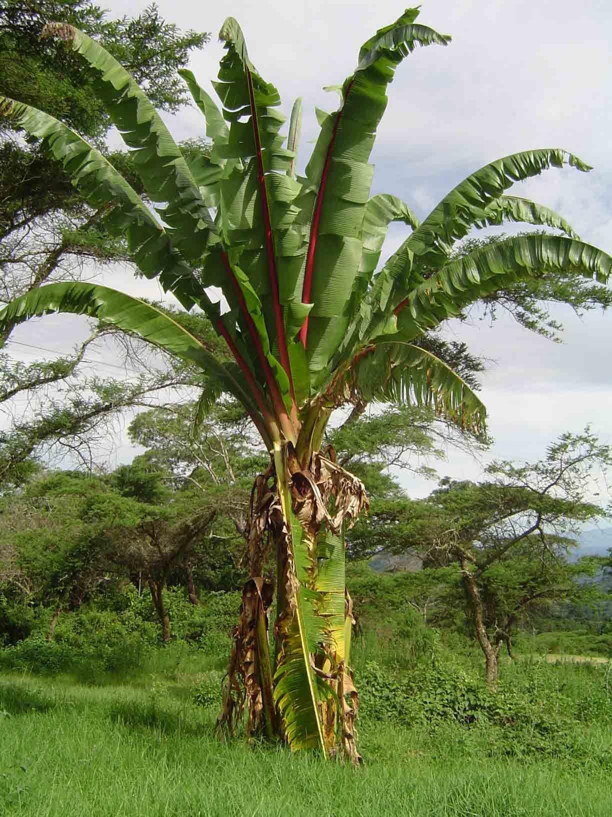 Ensete Ventricosum Wild Banana Afrikaanse Wildepiesang