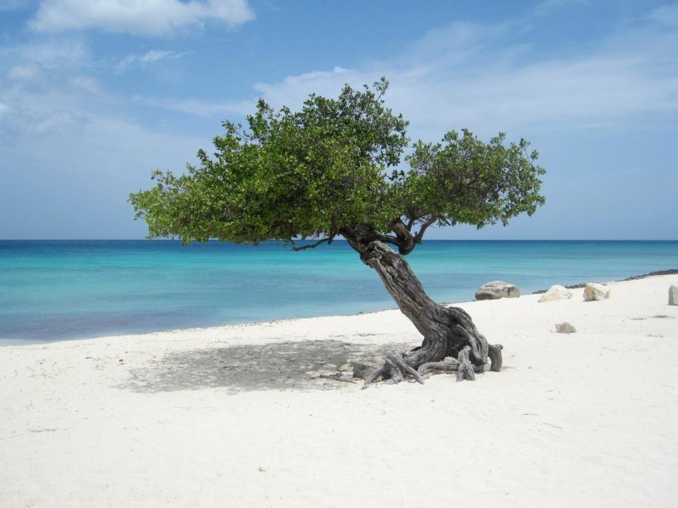 Aruba Beaches Eagle Beach Palm