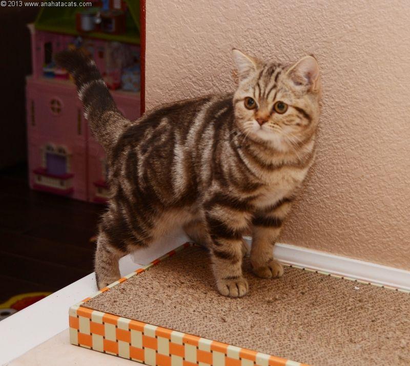 Anahata British Shorthair Cats Cattery British Shorthair Cats