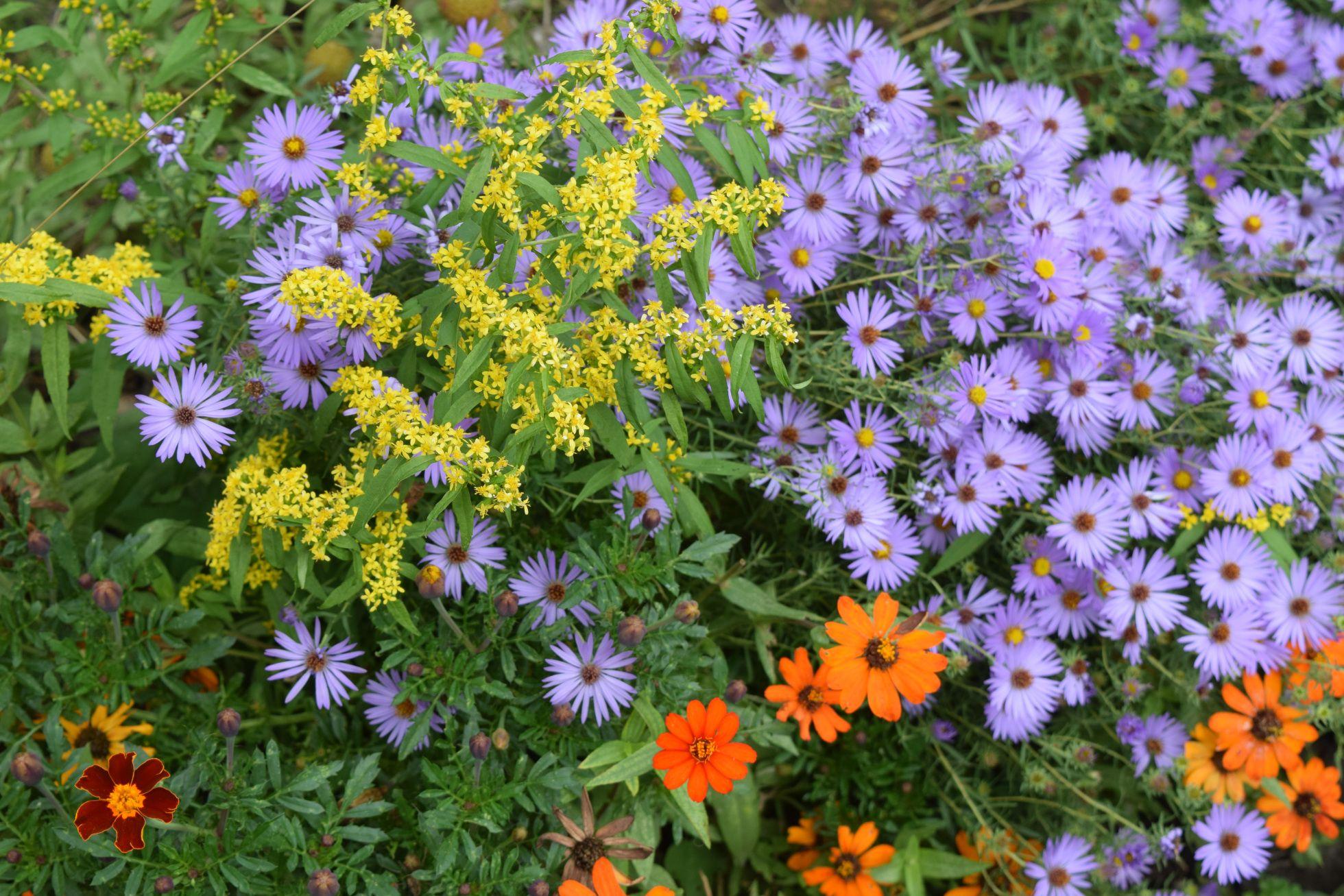 Companion Plants For Asters Plants Companion Planting Goldenrod Flower