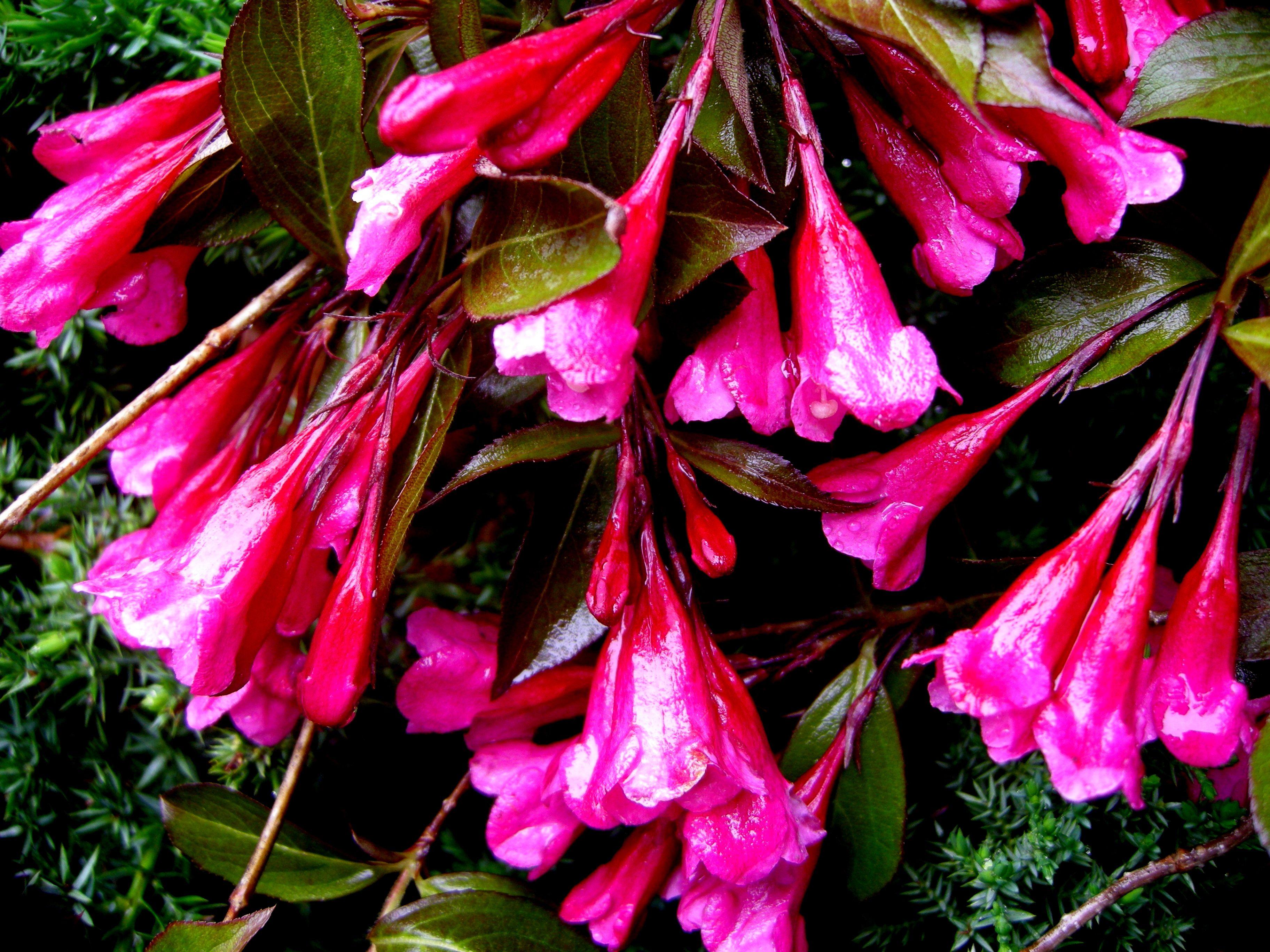 posts about weigela florida wine roses written by carolyn carolyns shade gardens - Shade Garden Ideas Zone 5