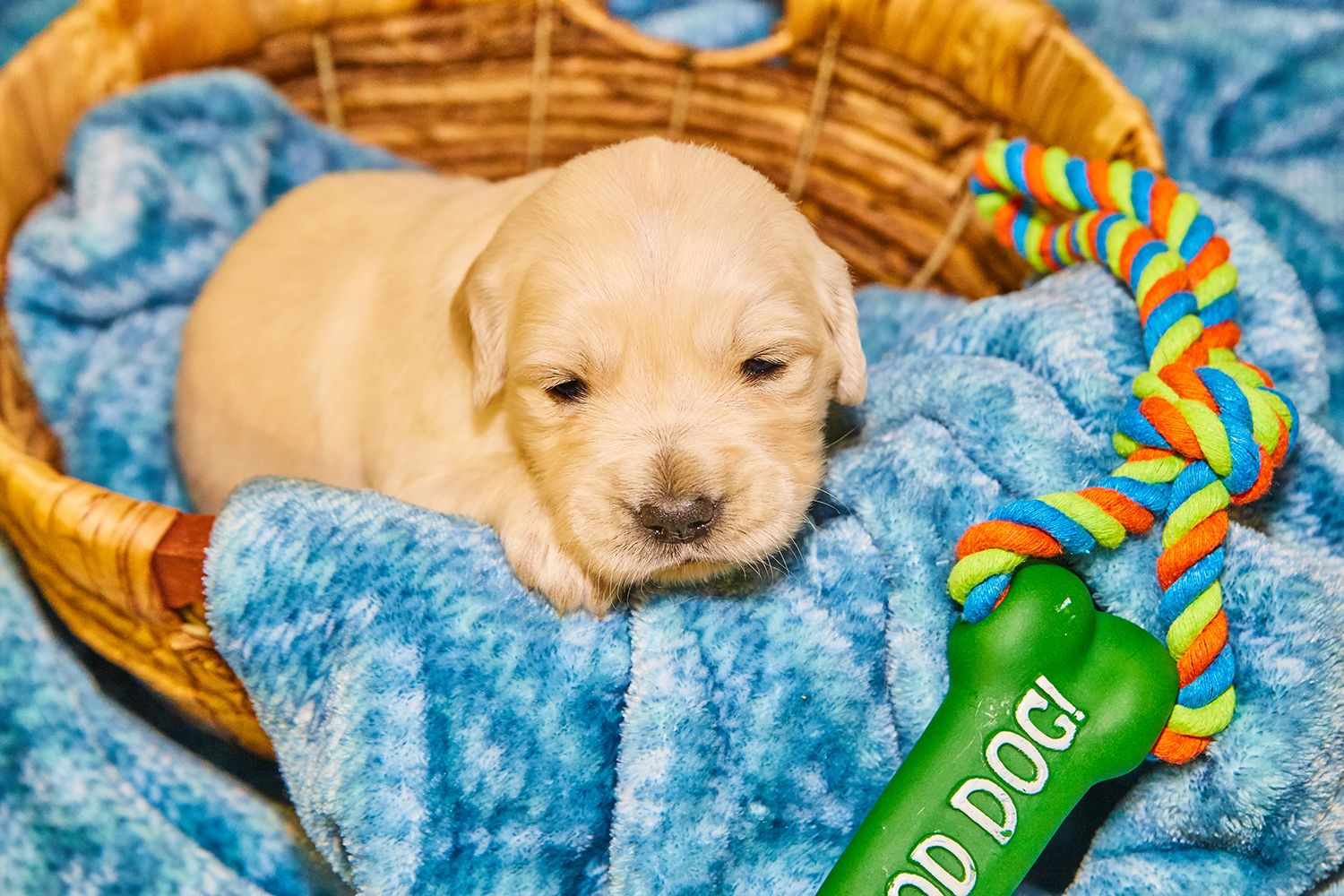 Are You Interested In An Amazing Golden Retriever Our Pups Will Be Old Enough To Adopt Soon We Currently Have 4 Girls Puppy Adoption Puppies Golden Retriever