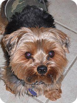 Reno Nv Yorkie Yorkshire Terrier Meet Nikkie A Dog For Adoption Http Www Adoptapet Com Pet 9749735 Ren Yorkie Yorkshire Terrier Pets Yorkshire Terrier