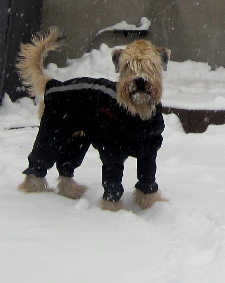 Delaney Looking Cute In Her Snowsuit Soft Coated Wheaten