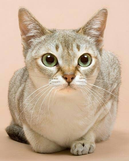 Singapura cutie!!! Singapura cat, Cat breeds, Cats and