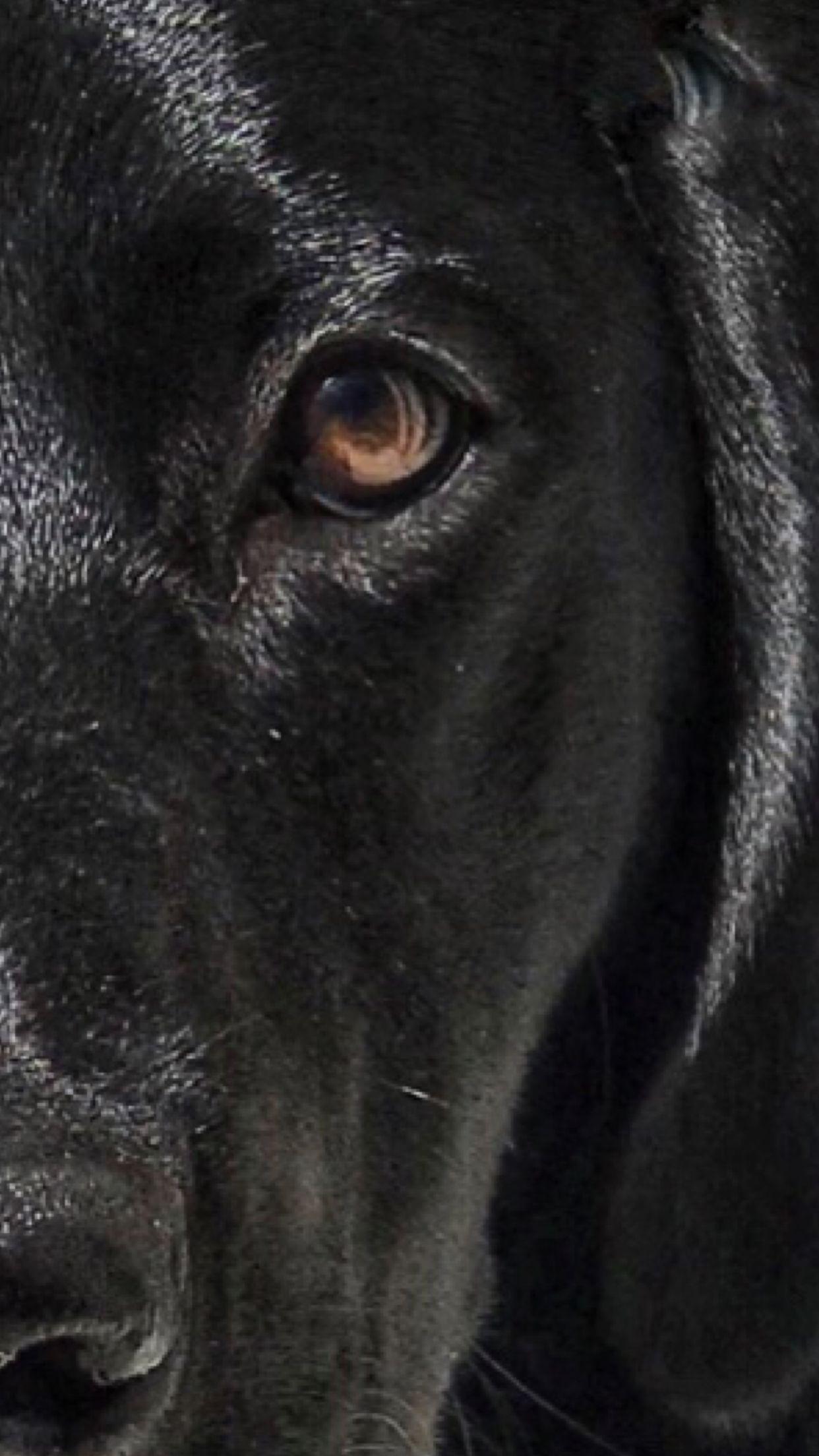 Jole Blon ️ blacklabs Black dog, Black labs, Dogs