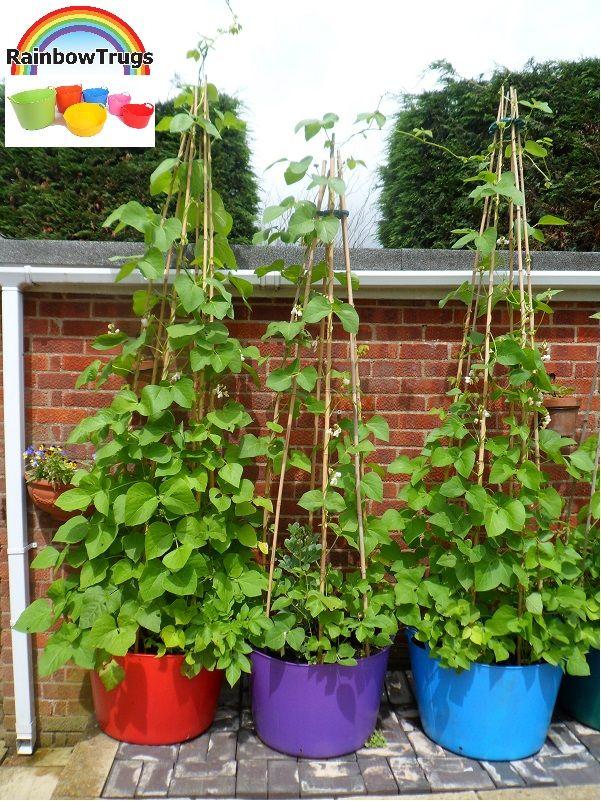 Runner Beans Growing In 75l Rainbow Trugs Www Rainbowtrugs Com Growing Vegetables Veg Garden Veggie Garden