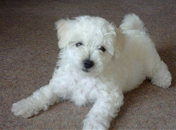 Bolognese Bichon Bolognese I Want This Puppy Dog Breeds