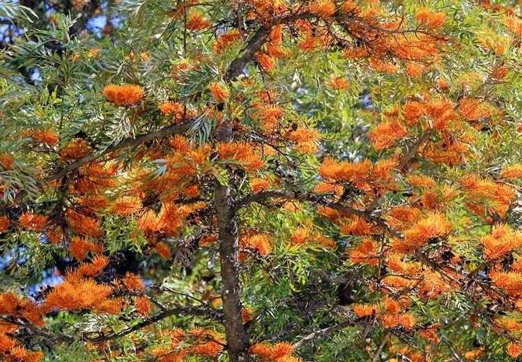 Grevillea Robusta Silky Oak Silk Oak Silky Bark Oak