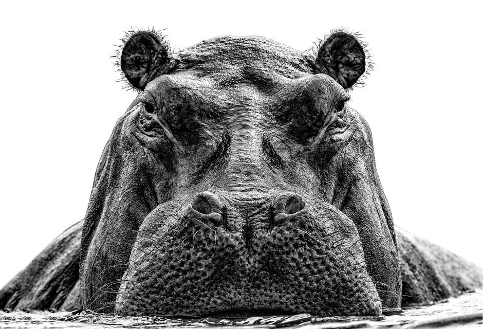 Hippo portrait in a black and white fine art print