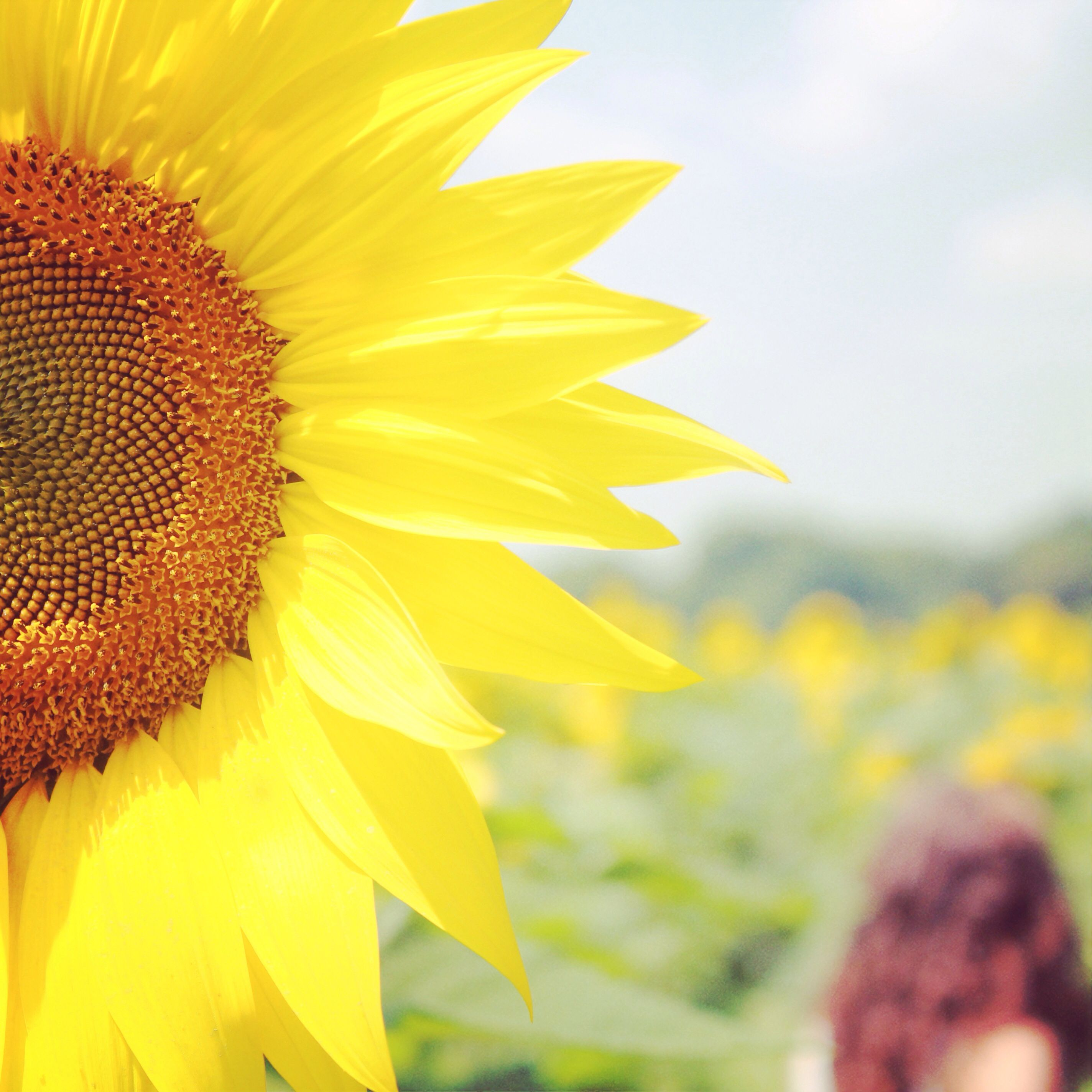 A photoshoot in a sunflower field   Sunflower photo ...