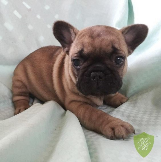 Puppies For Sale California French Bulldog Breeders French