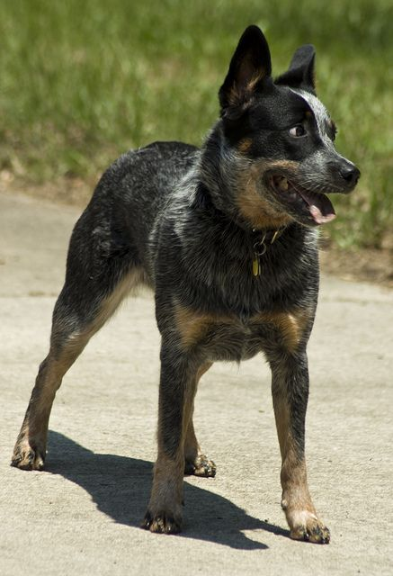 Cattle Dog Willa Dog Training Dogs Best Dogs