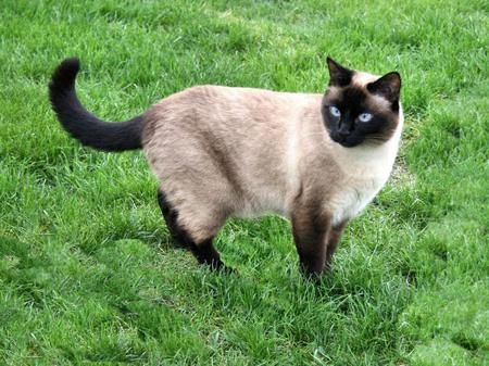 Applehead Siamese Cat Siamese Traditional Siamese Cats Facts