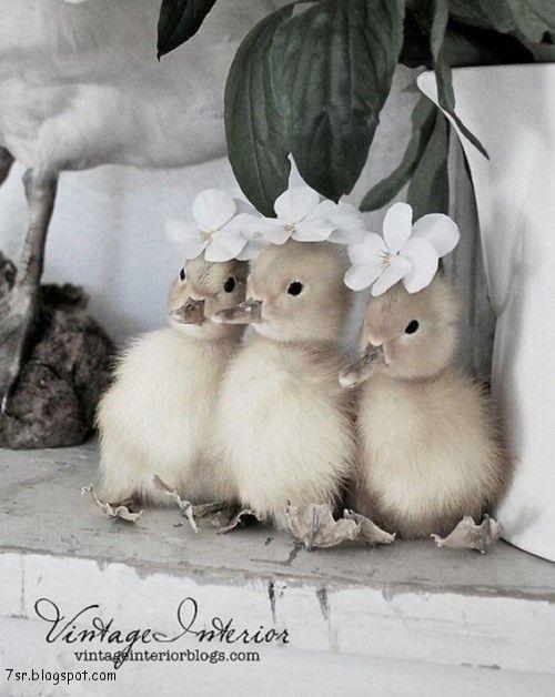 صور بط معلومات وصور جميلة جدا عن البط Animals Cute Baby Animals Baby Animals