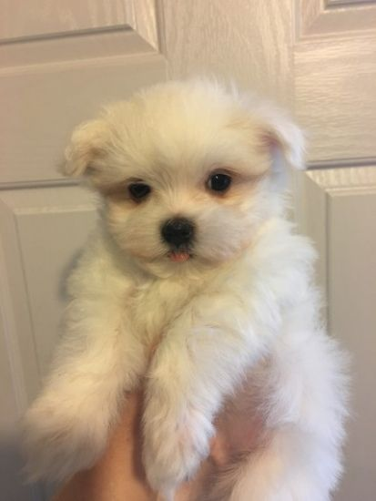 Maltese Puppies Contact Via Text 720 642 5749 6 Gorgeous Maltese Puppies 2 Girls And 4 Boys Mum And Dad Can Be See Maltese Puppy Puppies And Kitties Puppies