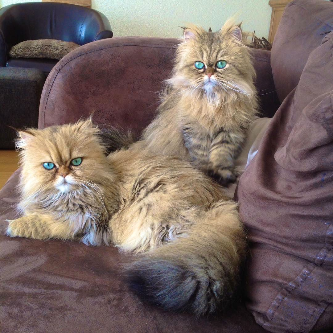 Meet Lilly and Evy the Adorable Golden Persian Cats with Ocean