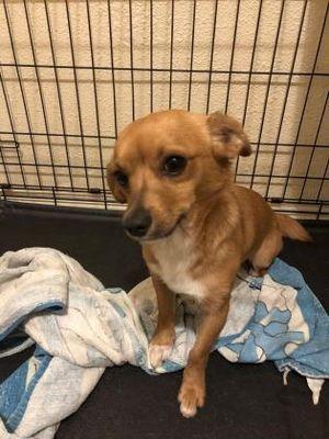 Houston, TX Dachshund. Meet Thumper a Pet for Adoption