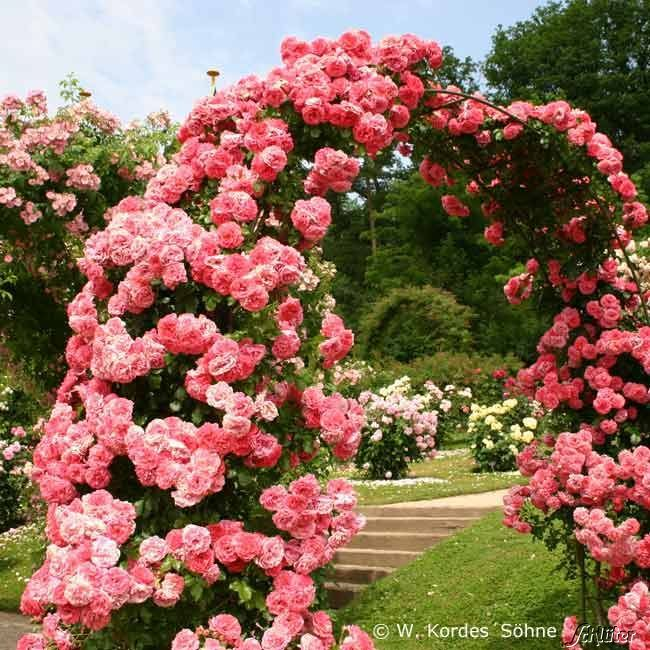 kletterrose santana kaufen roses climbing pinterest. Black Bedroom Furniture Sets. Home Design Ideas