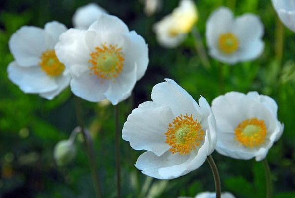 Popular wedding flower anemone coronaria the bride features white poppy is a flower used as a symbol for a peaceful future mightylinksfo