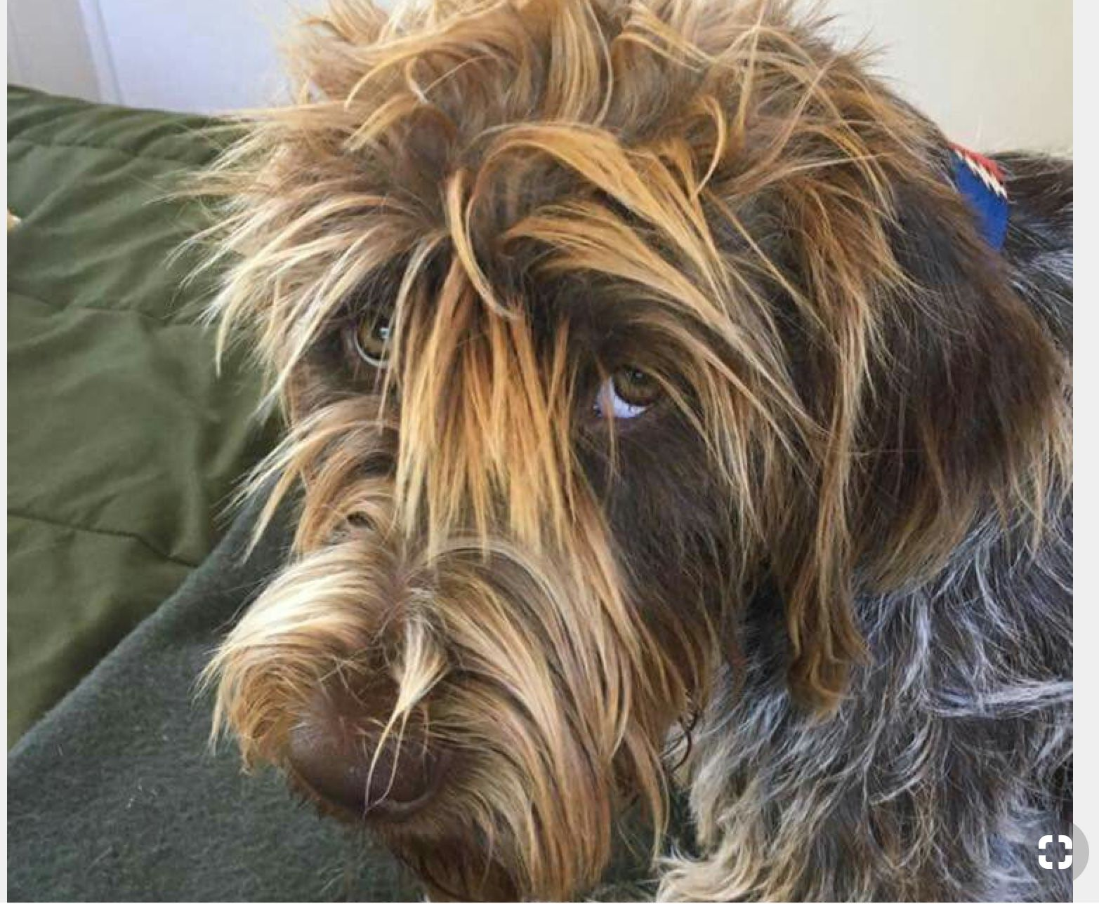 Pin By Ryan On Family Dog Ideas Griffon Dog Hunting Dogs Dogs