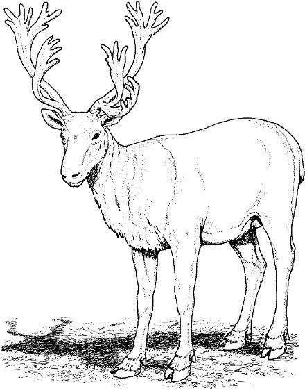 Caribou Clipart 9 Best Clip Art Blog Deer Coloring Pages Realistic Reindeer Deer Pictures
