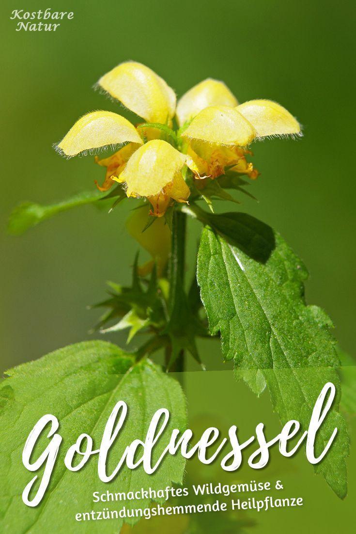 Goldnessel - Kostbare Natur
