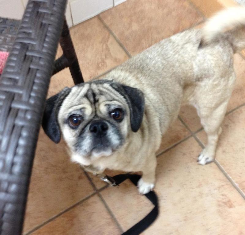 Adopt Hazel On Animal Rescue League Pug Beagle Mix Lap Dogs
