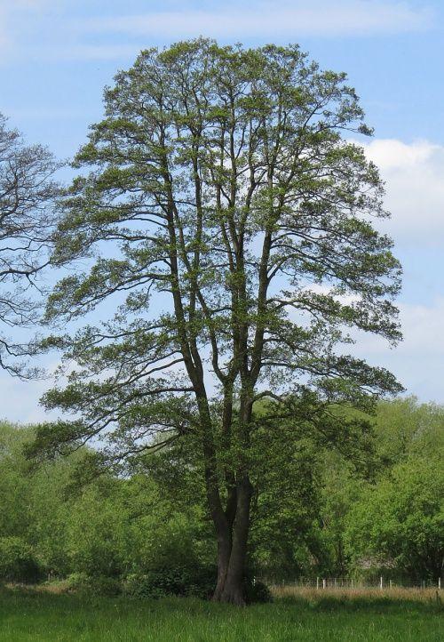Alnus glutinosa la trees pinterest rboles de for Arboles perennes de crecimiento rapido
