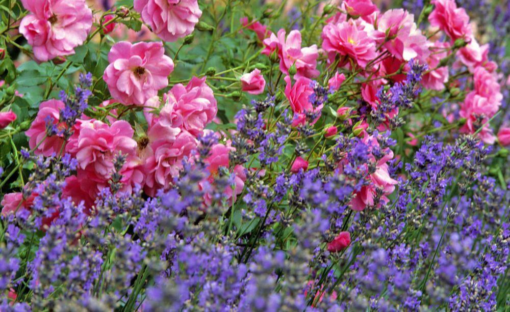 Rosen und Lavendel: Ein Traumpaar im Beet? | Garten | Pinterest ...