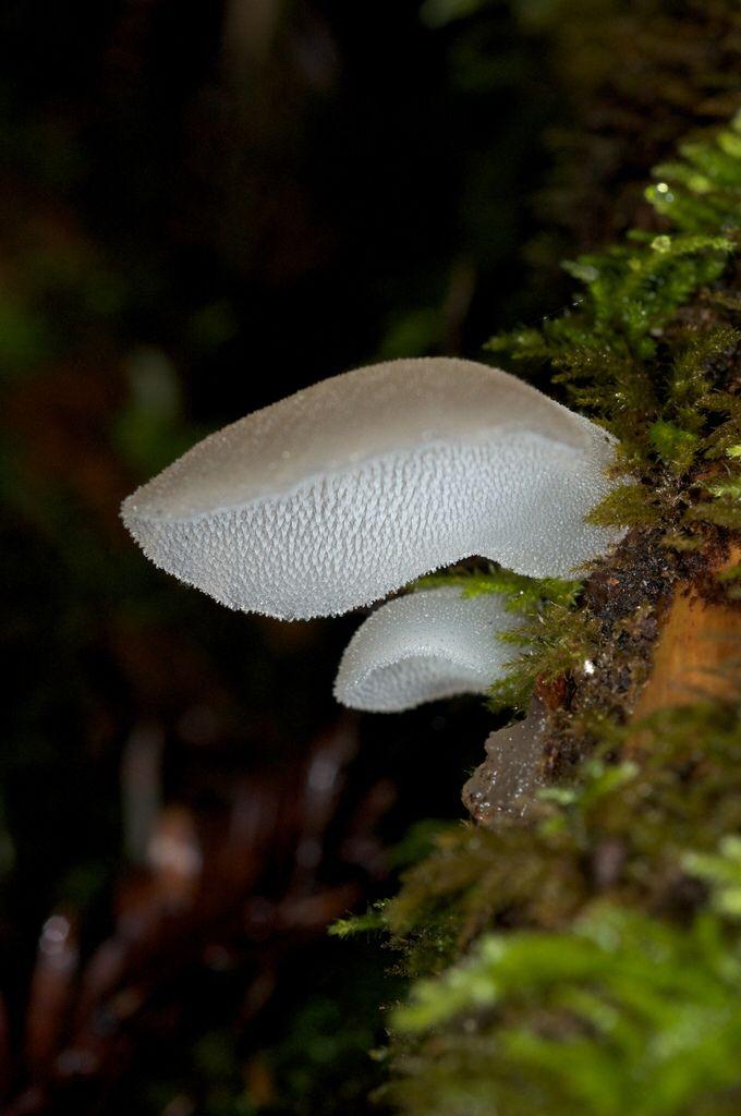 Pseudohydnum Gelatinosum Stuffed Mushrooms Mushroom Fungi Fungi