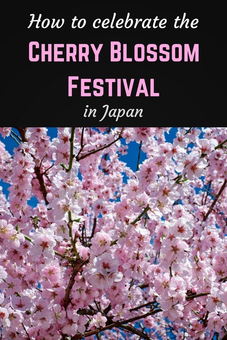 How To Celebrate The Cherry Blossom Festival In Japan Indie Travel Podcast Japanese Cherry Tree Japanese Cherry Blossom Cherry Blossom Festival