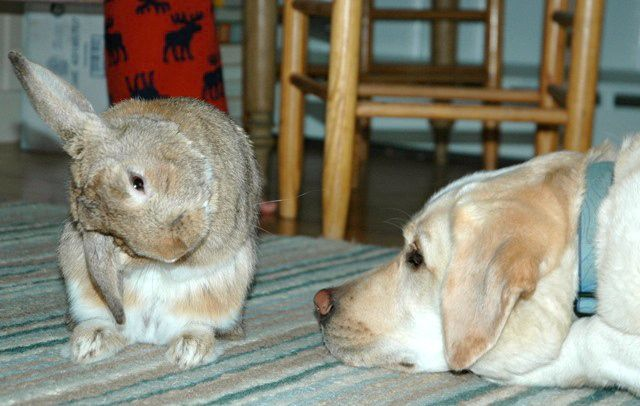 Purpose of rabbits facial cheek glands — photo 11