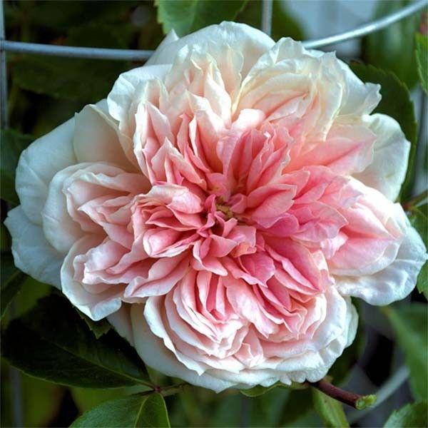 Rosa (x) wichuraiana Paul Noel - Rosier liane, sarmenteux souple et vigoureux, offrant des roses très doubles, d'un rose teinté de jaune souffre, parfumées.