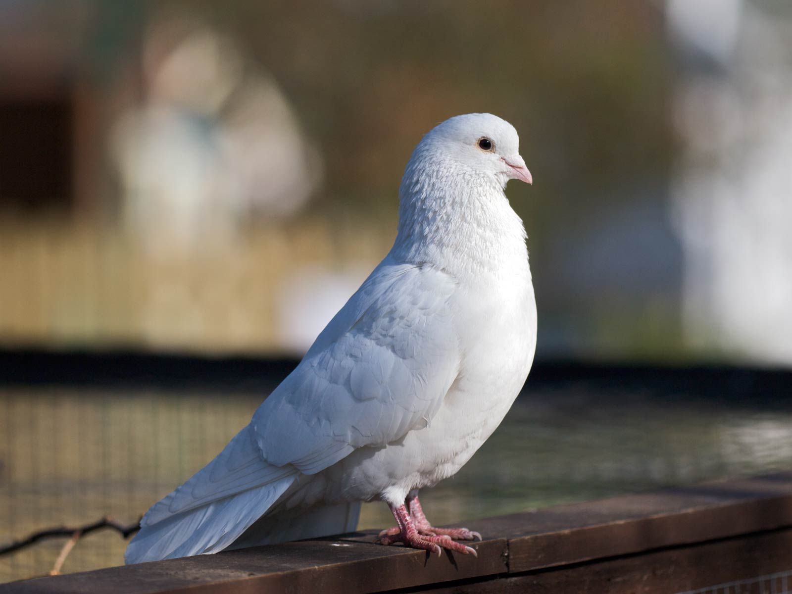 White Dove Peace And Purity Pigeon Bird White Pigeon Bird Wallpaper