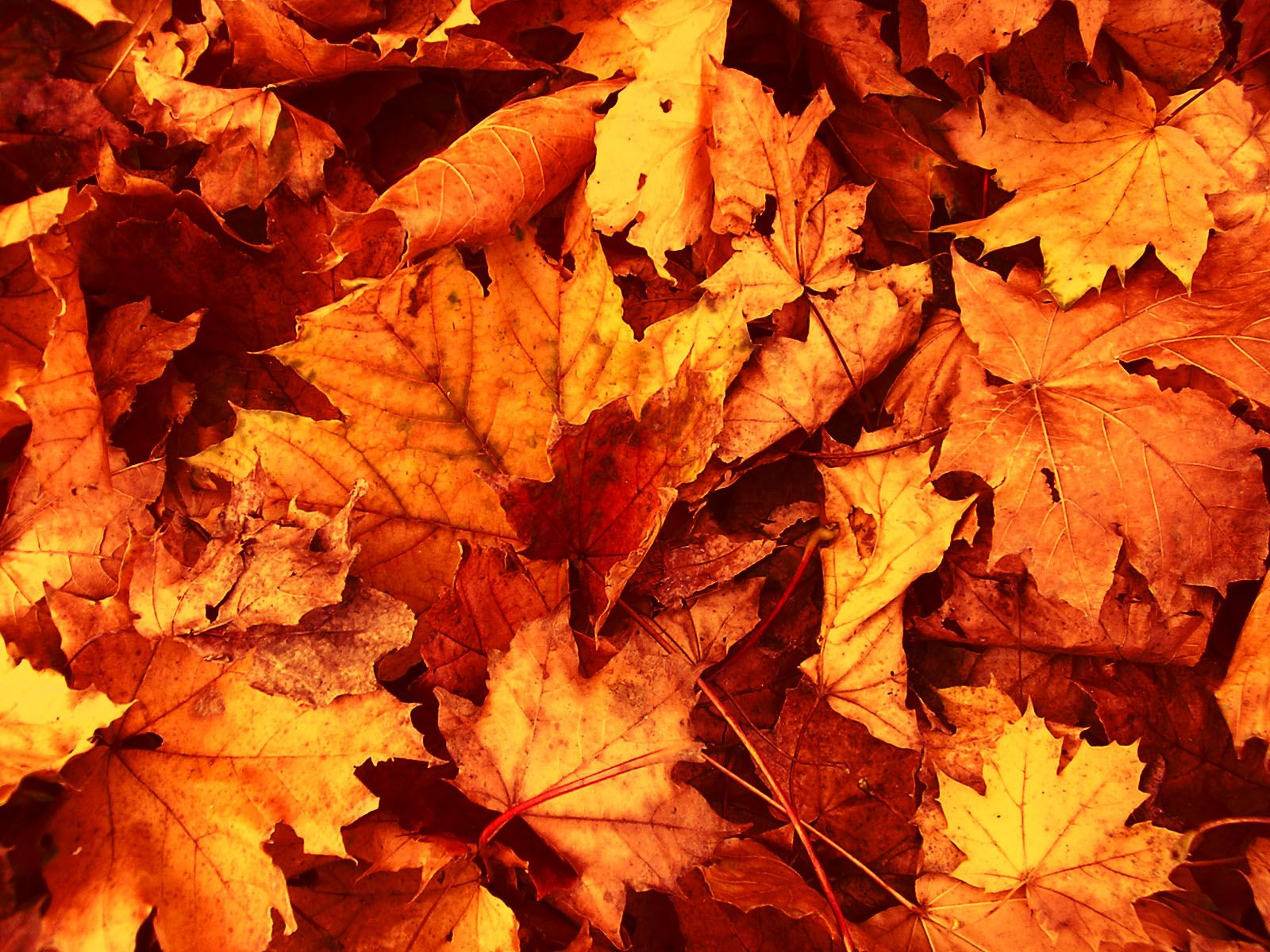 Fall Leaves Wallpapers High Definition Free Download